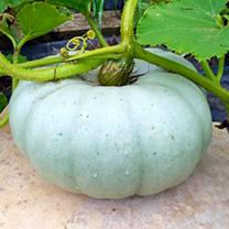 Pumpkin Seeds - Old Boer White