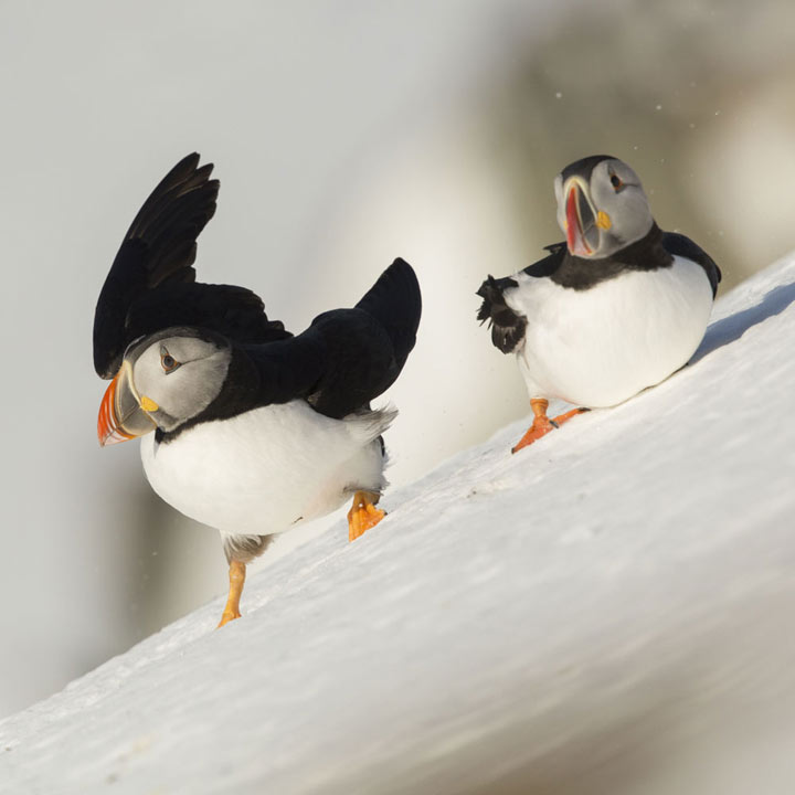 Downhill Puffin Christmas Cards
