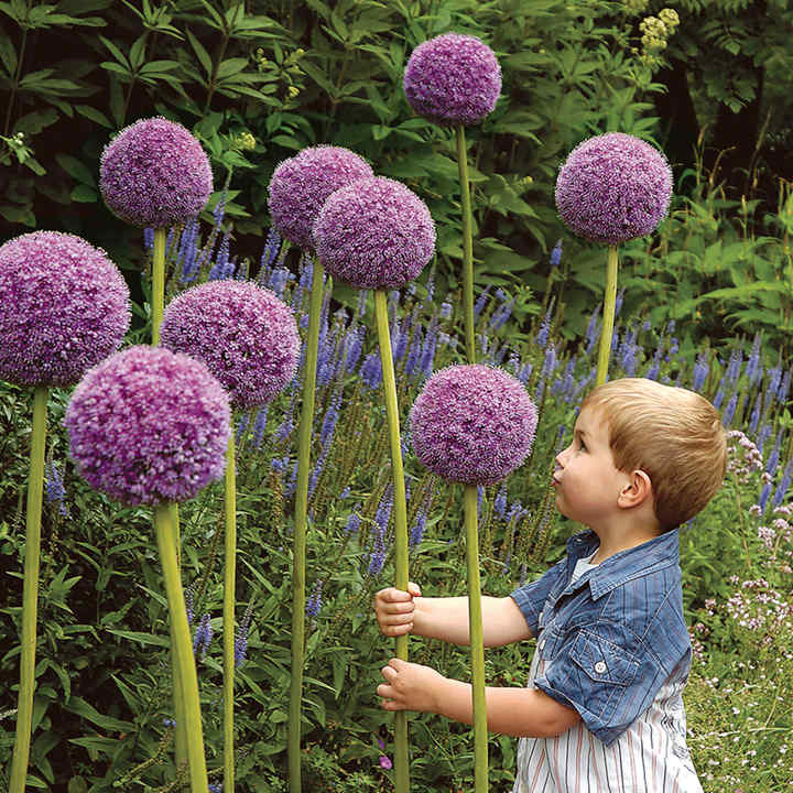 Allium bulbs ornamental onion dobies for Ornamental garden plants