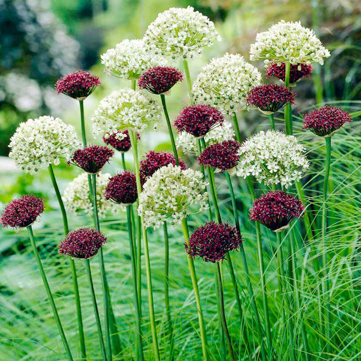 Allium Bulbs - Purple & White Mix