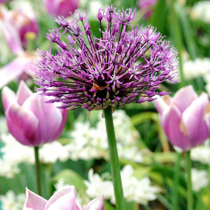 allium bulbs purple sensation dobies. Black Bedroom Furniture Sets. Home Design Ideas