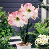 Amaryllis (Indoor) Bulb - Appleblossom