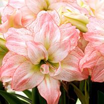 Amaryllis Bulb - Aphrodite