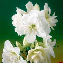 Amaryllis Bulb - Alfresco