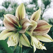 Amaryllis Bulb - Papilio