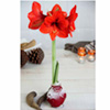 Amaryllis Wax Bulb - Red/snow coating