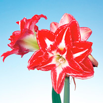Amaryllis (Indoor) Bulb - Splash