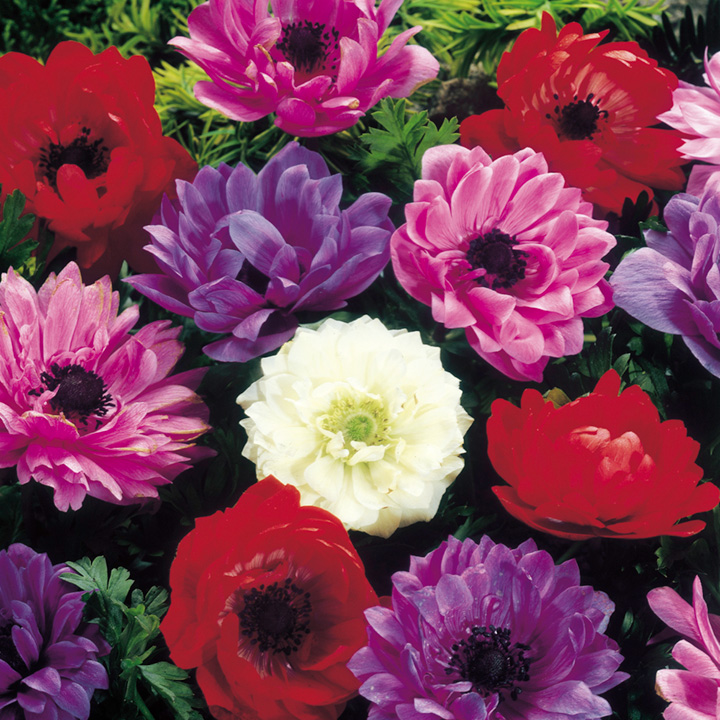 Anemone Bulbs - St Brigid