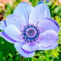 Anemone coronaria Bulbs - Mr Fokker