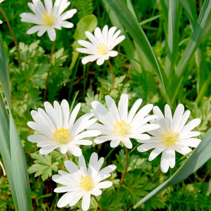 Anemone Bulbs - White Splendour