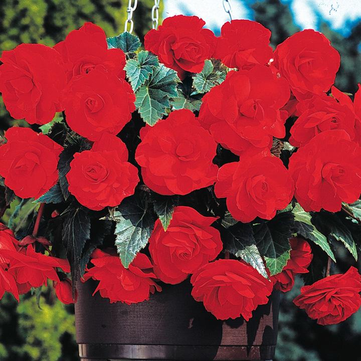 Begonia Tubers - Sensation Scarlet
