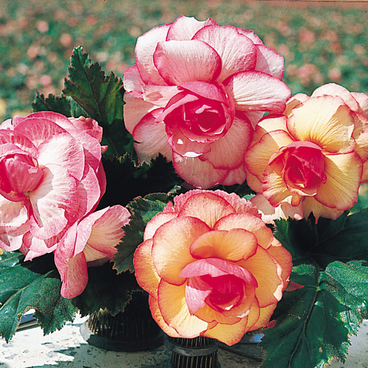 Begonia Plants - Rose Picotee