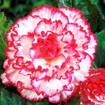 Begonia Tubers - Expresso Sugardip Pink