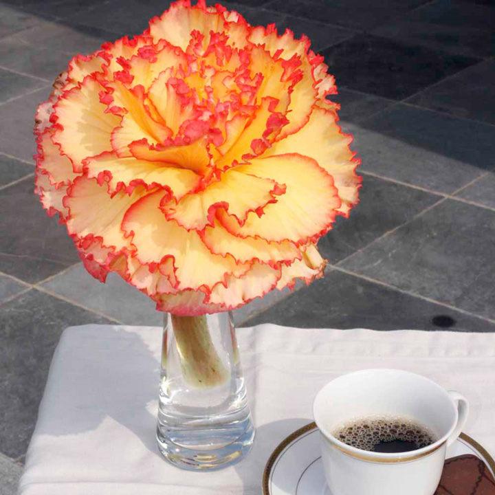 Begonia Prima Donna Tubers - Sunburst
