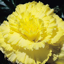 Begonia Tubers - Prima Donna Yellow