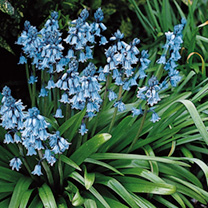 Bluebell Bulbs - In The Green