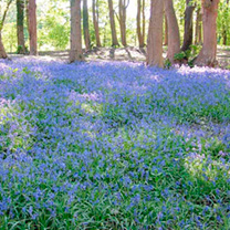Bluebells English Bulbs