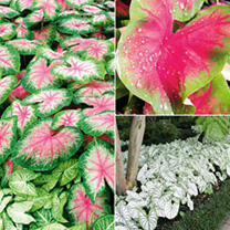 Caladium Tubers - Collection