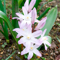 Chionodoxa Bulbs - Pink Giant