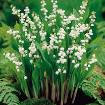 Lily of the Valley Roots