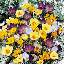 Crocus Botanical Bulbs - Mix