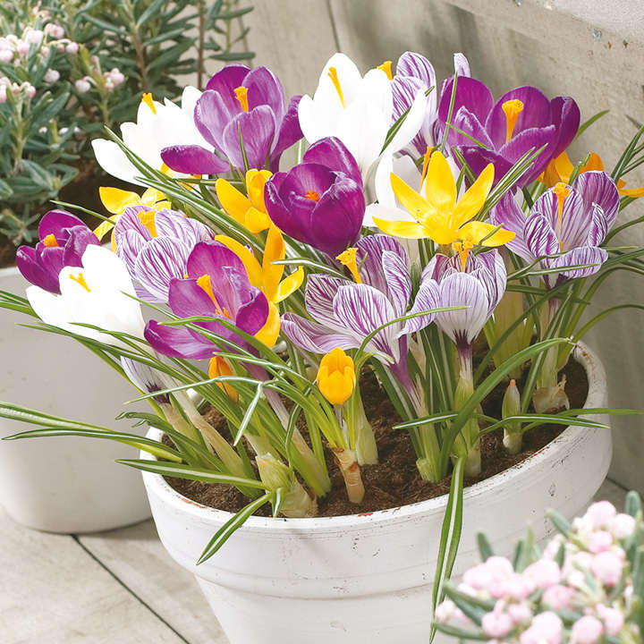 Crocus Bulbs - Jumbo Mix