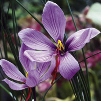 Autumn Flowering Bulbs - Lucky Dip