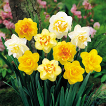 Daffodil Double Bulbs - Delicious Mix