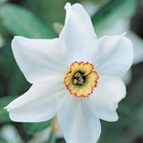 Daffodil Bulbs Pheasant Eye