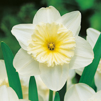 Daffodil Bulbs - Ice Follies