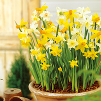 Daffodil Miniature Bulbs - Patio Mix