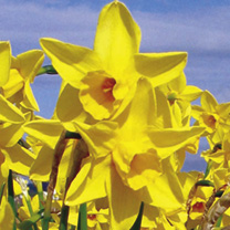 Daffodil Bulbs - Sweetness