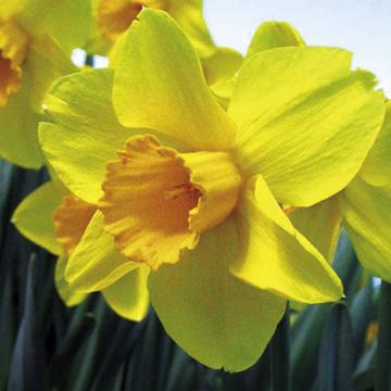 Daffodil (Cornish) Bulbs - Warleggan