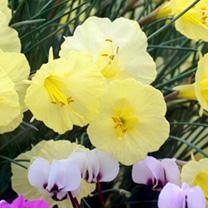 Daffodil Romieuxii Bulbs