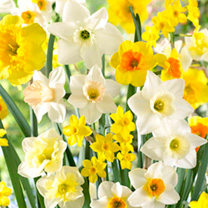 Daffodil Bulbs - Mix