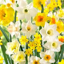 Daffodil Bulbs - Large Cup Mix 100