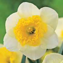 Daffodil Bulbs - Curly