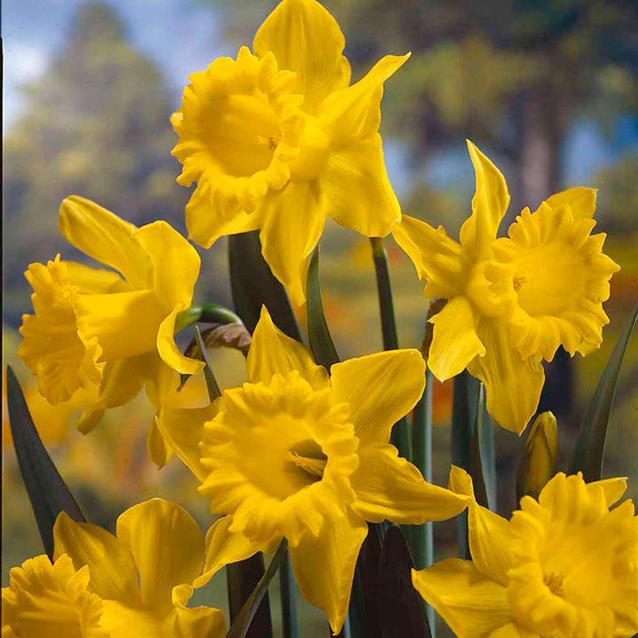 Daffodi Bulbs - King Alfred