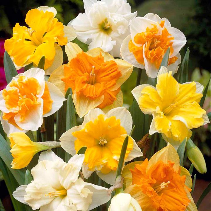 Daffodil Bulbs - Split Corona Collection