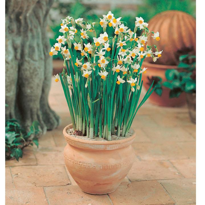 Daffodil Bulbs - Canaliculatis