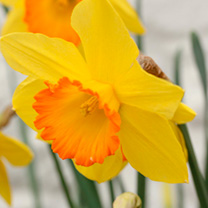 Daffodil (Cornish) Bulbs - Sacajawea