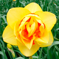 Daffodil (Cornish) Bulbs - Terwegen