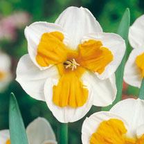 Daffodil (Split Corolla) Bulbs - Tricollet