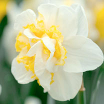 Daffodil Double Bulbs - Westward