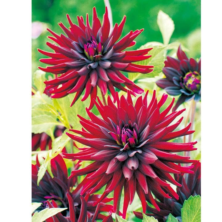 Dahlia Plant - Nuit d'Ete