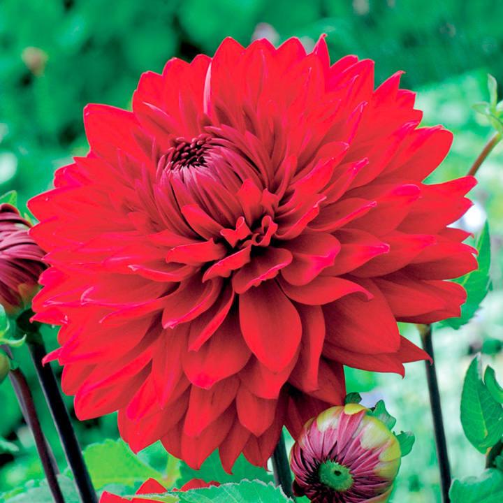 Dahlia Tubers - Garden Wonder