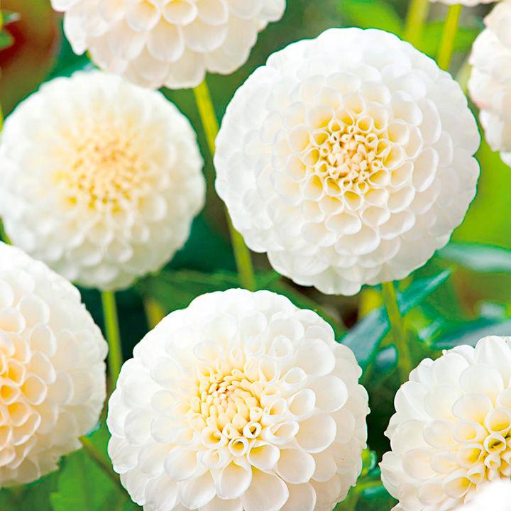 Dahlia Tubers - Snowflake