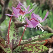 Erythronium Bare Roots - Collection