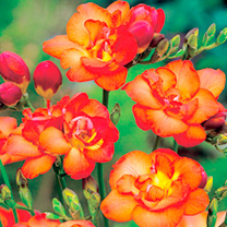 Freesia Bulbs - Double Red