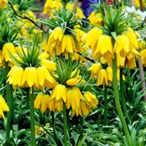 Fritillaria imperialis Bulbs - Maxima Lutea